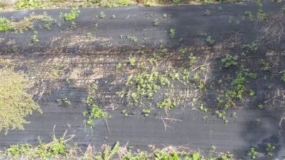 破れた防草シート
