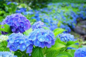 紫陽花の品種