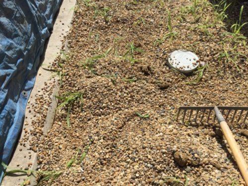 砂利に雑草が混ざっている